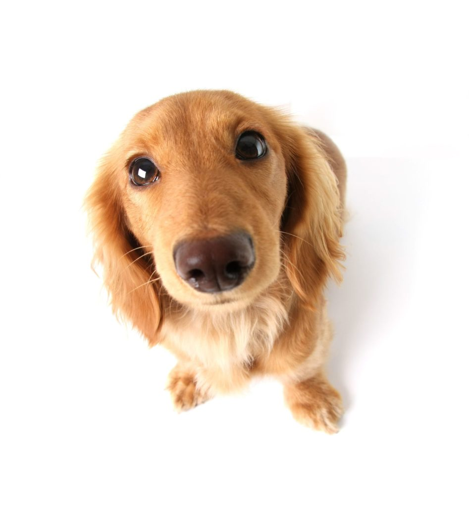3916838 - funny little dachshund distorted by wide angle closeup. focus on the eyes.